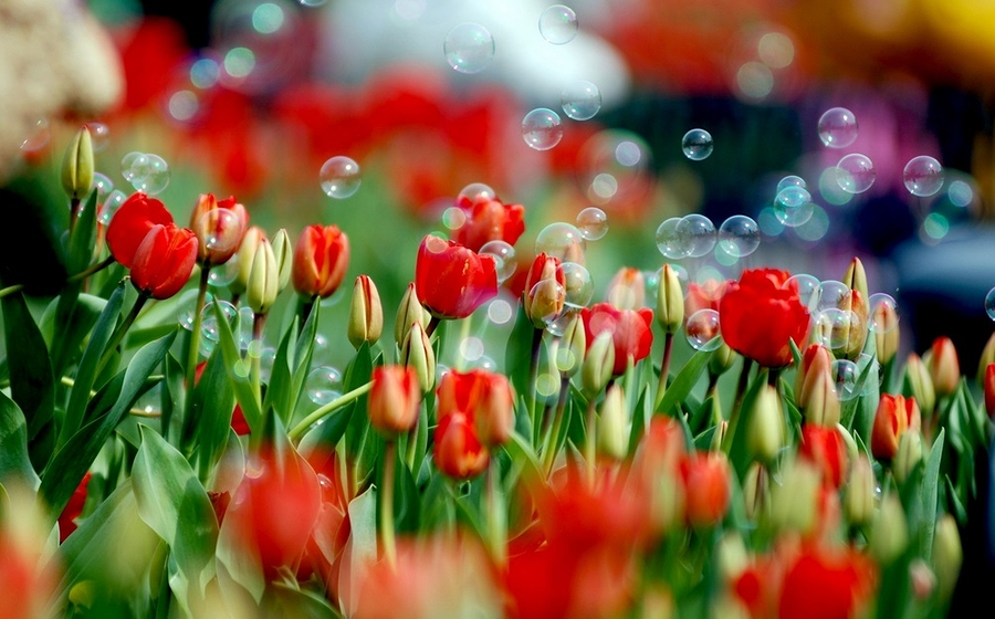 divinely beautiful red tulips on a fine background of soap bubbles