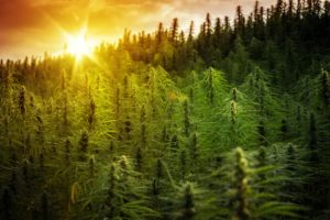 Field of cannabis plants growing at sunset