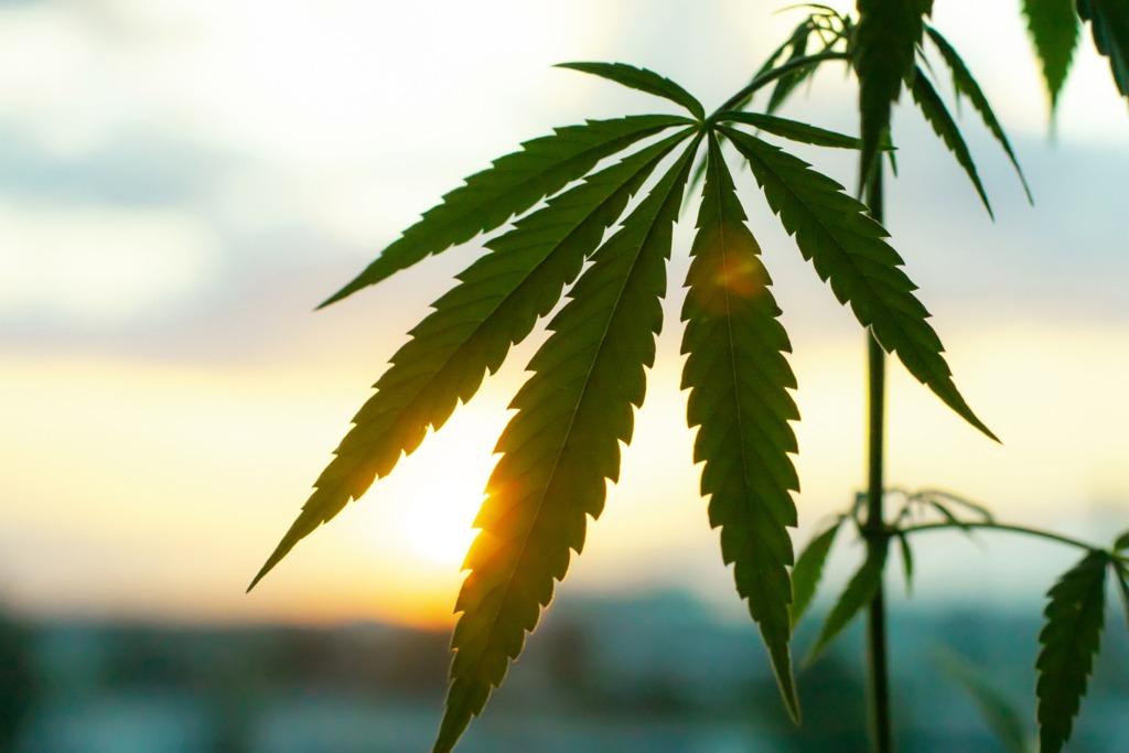 Sun shining on leaves of marijuana plant