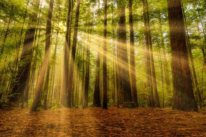 Sun shining through redwood trees
